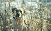 Hunting Dog Training & Breeding